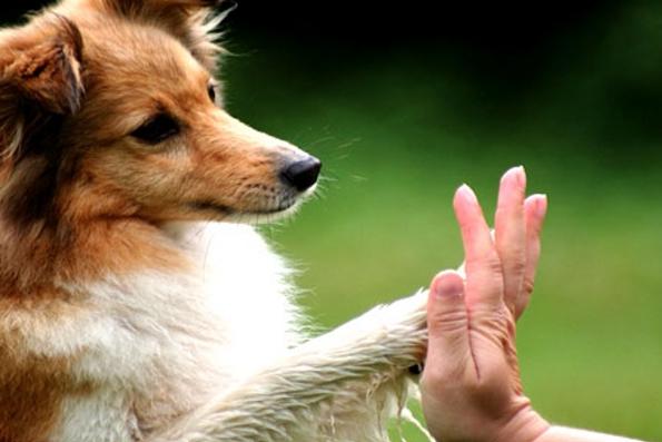 Cães podem ser destros, canhotos ou ambidestros