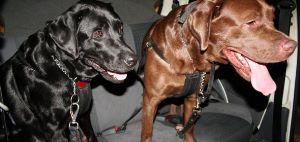 Transporte de Cães soltos no carro pode render multa
