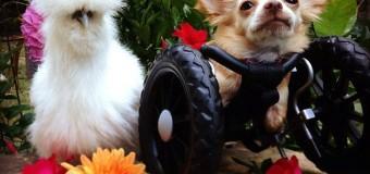 Chihuahua amputado e frango viram melhores amigos