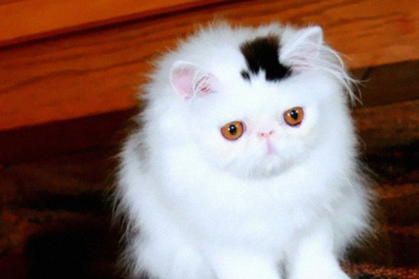 Gato marca Love Pet 2 590x393 Top 10 Gatos com marcas inusitadas