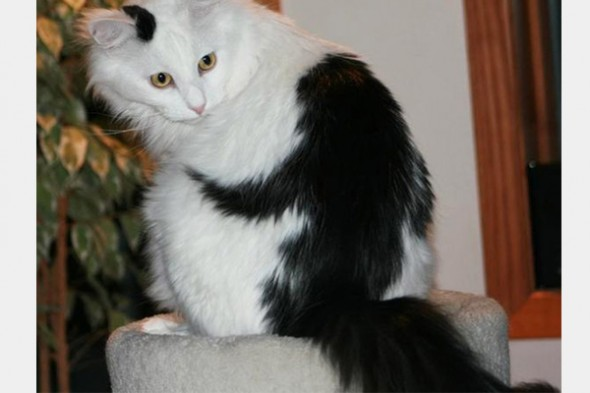 Gato marca Love Pet 9 590x393 Top 10 Gatos com marcas inusitadas