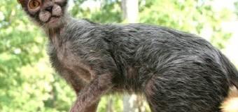 """Lykoi: """"Gato lobisomem"""" desperta curiosidade"""
