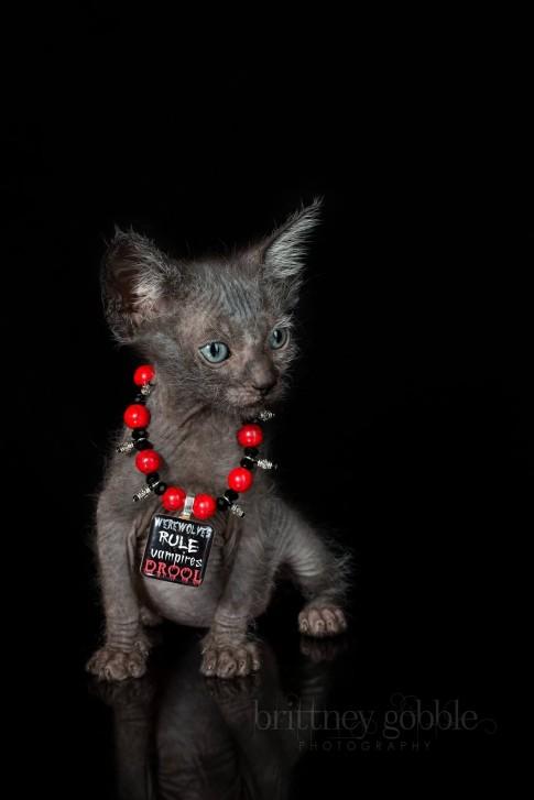 lykoi 4 485x727 Lykoi: Gato lobisomem desperta curiosidade