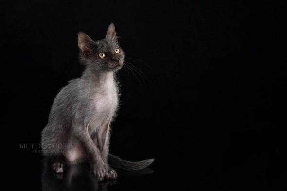 lykoi 590x393 Lykoi: Gato lobisomem desperta curiosidade