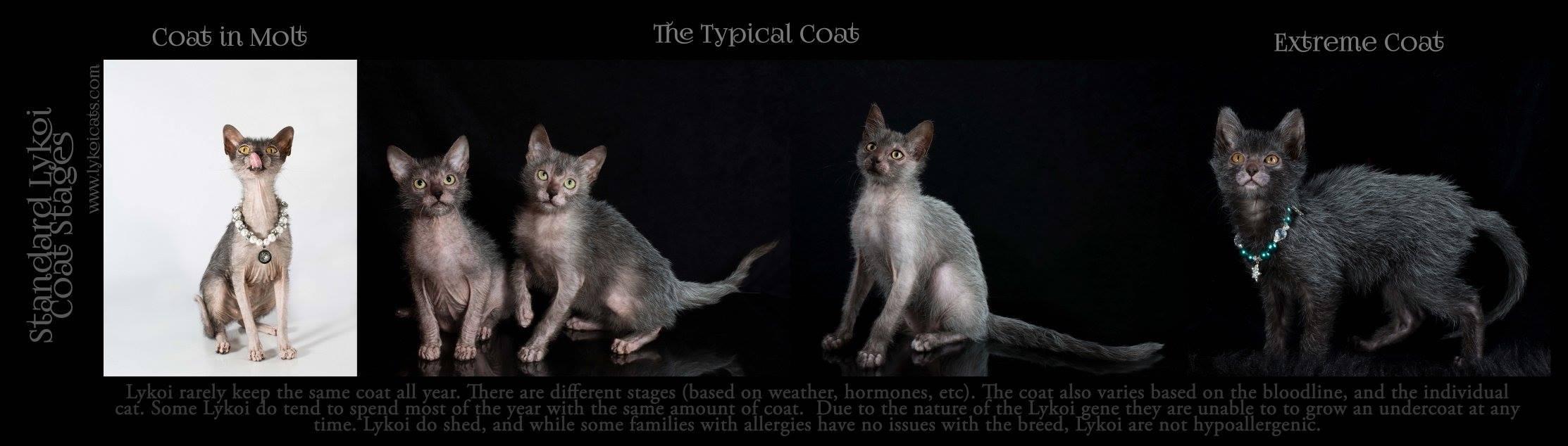lykoi tipos Lykoi: Gato lobisomem desperta curiosidade