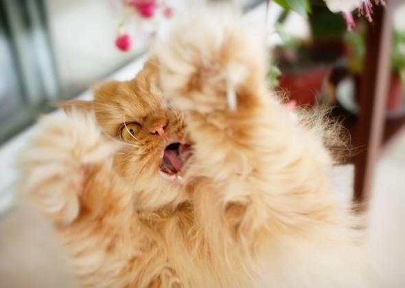 garfi 1 590x420 Garfi: Fotos do gato persa mais mal humorado do mundo