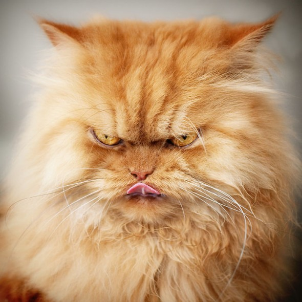 garfi 10 590x590 Garfi: Fotos do gato persa mais mal humorado do mundo