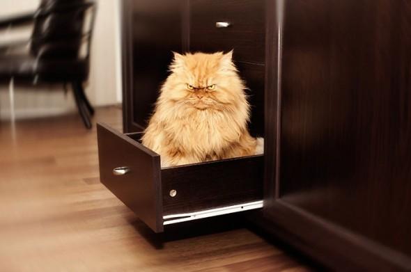 garfi 18 590x391 Garfi: Fotos do gato persa mais mal humorado do mundo