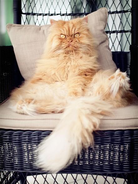 garfi 22 442x590 Garfi: Fotos do gato persa mais mal humorado do mundo