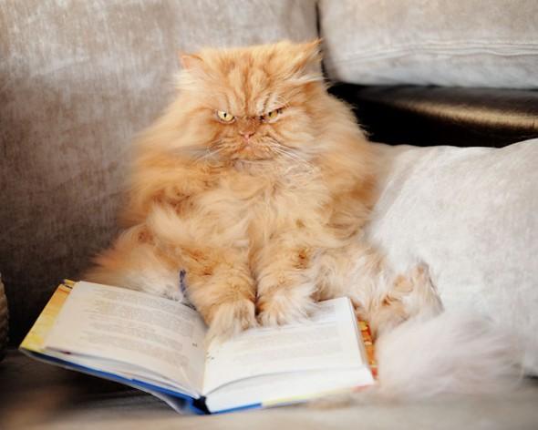 garfi 28 590x472 Garfi: Fotos do gato persa mais mal humorado do mundo