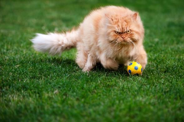 garfi 30 590x392 Garfi: Fotos do gato persa mais mal humorado do mundo