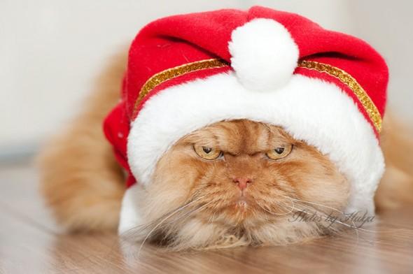 garfi 35 590x392 Garfi: Fotos do gato persa mais mal humorado do mundo