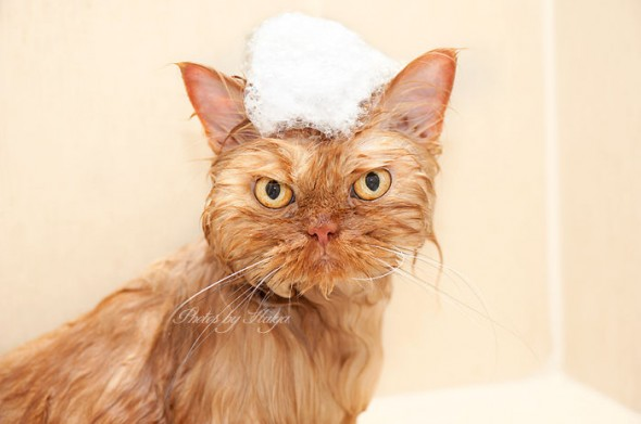 garfi 37 590x391 Garfi: Fotos do gato persa mais mal humorado do mundo