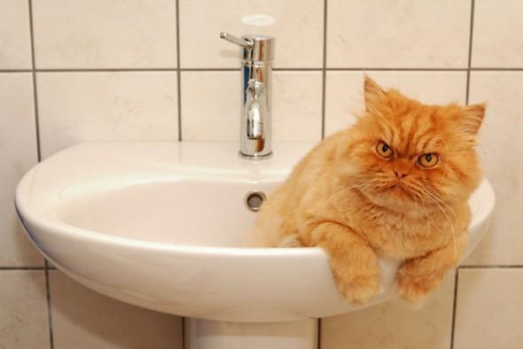 garfi 5 590x394 Garfi: Fotos do gato persa mais mal humorado do mundo