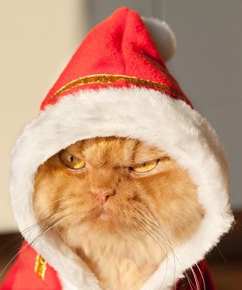 garfi 6 493x590 Garfi: Fotos do gato persa mais mal humorado do mundo