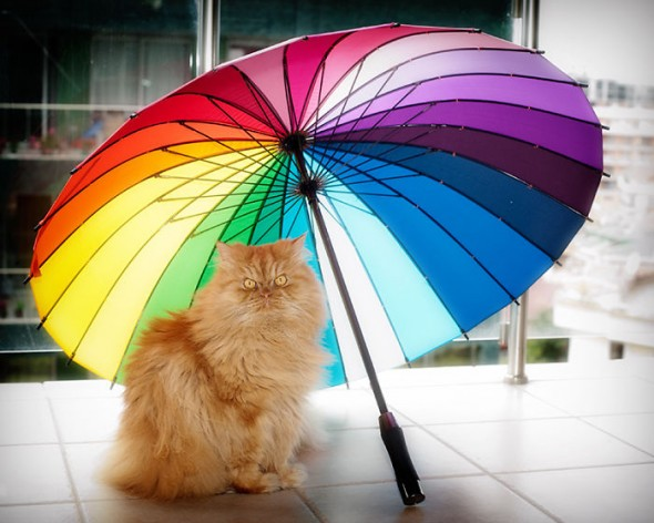 garfi 7 590x472 Garfi: Fotos do gato persa mais mal humorado do mundo