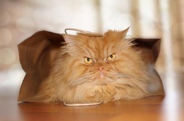 garfi 8 590x391 Garfi: Fotos do gato persa mais mal humorado do mundo